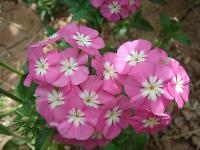 大量供應大花秋葵、大薊、萼距花、飛蓬等宿根花種