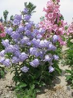 大量供应大花剪秋罗、大花夏枯草、钓钟柳、堆心菊等宿根花种