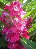 大量供应丛生风铃草、大花剪秋罗、大花夏枯草、钓钟柳等宿根花种