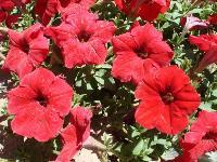 大量供应肿柄菊、紫茉莉、醉蝶花、雏菊等野花组合种子