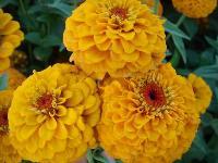 大量供应勋章菊、雁来红、雁来黄、一串红等野花组合种子