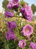 大量供应向日葵、勋章菊、雁来红、雁来黄等野花组合种子