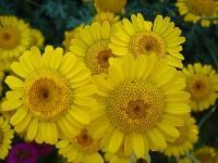 大量供应香雪球、向日葵、勋章菊、雁来红等野花组合种子