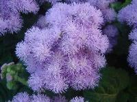 大量供应黑心菊、花毛茛、藿香蓟、加拿大美女樱等宿根花种