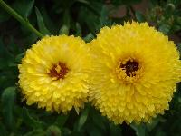 大量供应荷包花、黑心菊、花毛茛、藿香蓟等宿根花种
