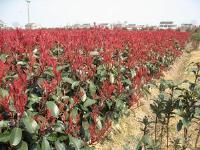红果金丝桃、胡颓子、火棘、红叶女贞、红叶石楠价格表