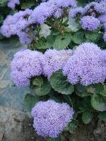 大量供应二月兰、飞燕草、风铃草、蜂室花等野花组合种子
