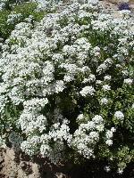 大量供应蛾蝶花、二月兰、飞燕草、风铃草等野花组合种子