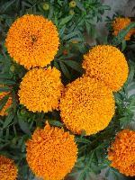 大量供应大花风铃草、蛾蝶花、二月兰、飞燕草等野花组合种子