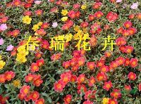 太阳花,马齿苋,半枝莲