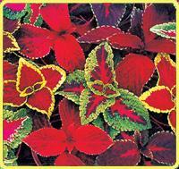 大滨菊、大花杓兰、飞燕草、凤梨、凤梨薄荷、佛甲草价格表