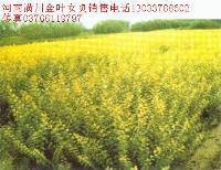 霍香蓟、头花蓼、花叶芒、何*乌、红叶景天、花叶络石价格表