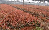 假龙头、荚果蕨、聚合草、假万寿竹、荆芥、金边凤尾兰价格表