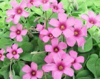 松叶蕨、山桃草、蓍草、穗花牡荆、山菅兰、蜀葵价格表