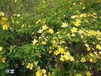 秋牡丹、日本小菊、软枝黄蝉、柔穗狼尾草、四季海棠价格表