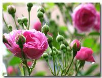花叶燕麦草、黄堇、虎耳草、火炬花、火焰花、活血丹价格表