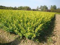 观音莲座蕨、花叶橡皮树、黄地毛、桔梗、卷柏价格表