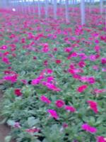 射干、三七景天、三叶地锦、水仙、水毯草、天竺葵价格表