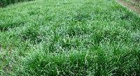 圣奥古斯汀草、海滨雀稗、钝叶草、草籽