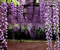 狭叶倭竹、西番莲、云实、鹰爪枫、油麻藤、紫藤价格表