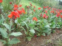 红花美人蕉 法国冬青、金边黄杨、茶梅