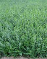 小叶女贞、米叶冬青、熊掌木、香桃木、小叶黄杨价格表