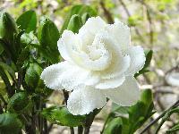 月桂、云南黄馨、银姬小蜡、银边黄杨、栀子花、紫鹃价格表