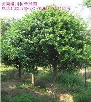 无刺构骨、小叶栀子花、迎春、银姬水腊、造型树价格表