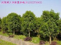 落叶灌木、矮紫薇、八仙花、茶梅、柽柳、棣棠、丁香价格表