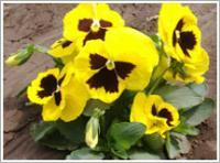 三色堇,蝴蝶花,猫脸花