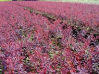 金叶小檗、金边水腊、金叶莸、金缕梅、金焰绣线菊价格表