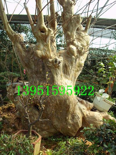 千奇百怪的盆景园艺:百年五针松千年紫薇老桩仙人球百合发财树等