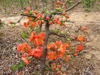 木瓜海棠、杞柳、水杨梅、双荚决明、山茱萸、双色锦带价格表