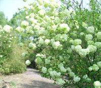 六月雪、六道木、麻叶绣球、玫瑰、美国红栌、木本绣球价格表