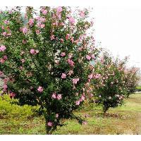 木槿、美人梅、毛核木、木蓝、南天竺、喷雪、品种月季价格表