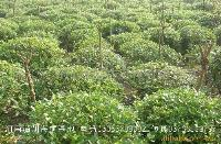 紫穗槐、醉鱼草、紫叶榛、地被植物、草花、矮牵牛价格表