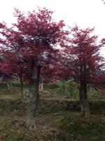 湖南红枫10--15公分 乐昌含笑、夹竹桃、紫玉兰