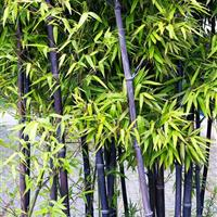 紫竹,红竹,早竹,淡竹,刚竹