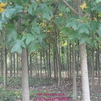 供應3-5-6-8-10-12公分馬褂木