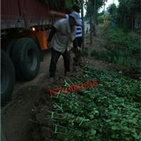 基地出售篱笆苗北海道黄杨、瓜子黄杨、大叶黄杨树苗