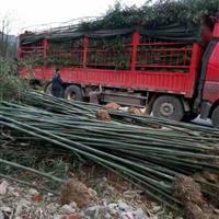 白纹维谷笹、大叶龙竹、佛肚竹、粉单竹、富韵竹、刚竹价格表