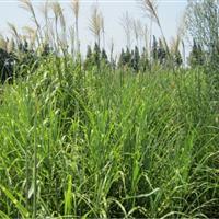 狼尾草、柳叶马鞭草、绵毛水苏、芒萁、满江红价格表