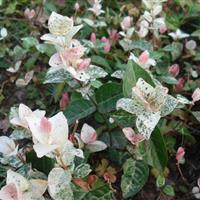 香彩雀、玉龙、羽扇豆、醉蝶花、紫御谷、沼湿草价格表
