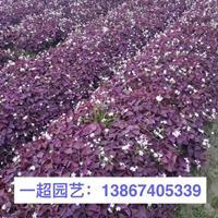 紫叶醡浆草、紫叶酢浆草、酢浆草基地、紫叶酢浆草批发