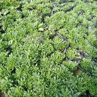 垂盆草 垂盆草价格 优质垂盆草