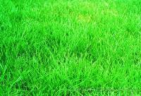 黑麦草草种、高羊茅草种、早熟禾草种