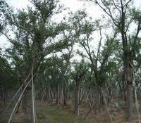 南京丛生朴树,9-18-30公分朴树新价格,江苏朴树基地图片