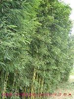 夏堇、向日葵、竹类植物、斑竹、黄石竹、黄纹刚竹价格表