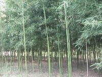 罗汉竹、人面竹、绿皮黄筋竹、黄槽刚竹、绿槽刚竹价格表