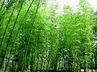 黄条早竹、黄甜竹、篌竹、混血儿情丝竹、花杆早园竹价格表